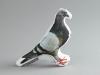 pigeon-vyzglavnichka